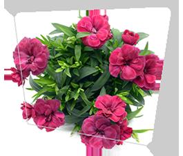 Piante e fiori a a Castelnuovo Rangone e Montale - Compra da noi